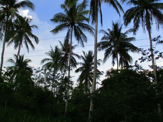 Farm lot in Barangay San Gregorio, Laurel, Batangas, vacant lot Batangas - 4